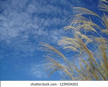 Autumn sky and Japanese pampas grass