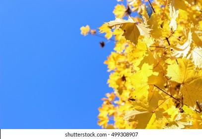 Autumn sky. Maple leaves