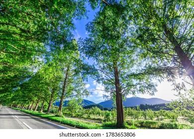 Autumn Sky and Metasequoia Avenue