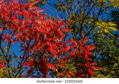 Autumn staghorn sumac or velvet sumac (Rhus typhina) tree on a sky background