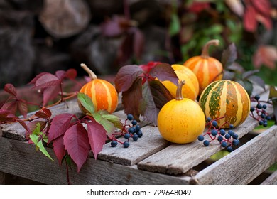 Autumn still life of decorative pumpkins, wild grapes and autumn leaves on a wooden surface