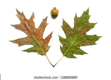 Autumn still life. Two green leaves of an oak and an acorn are lying on a white background close-up