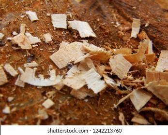 Autumn stump close-up. Cut the stump. Sawdust on the log. Old stump.