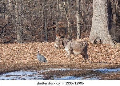 In the autumn sun, a donkey and guineafowl stare at each other while standing together on a farm.