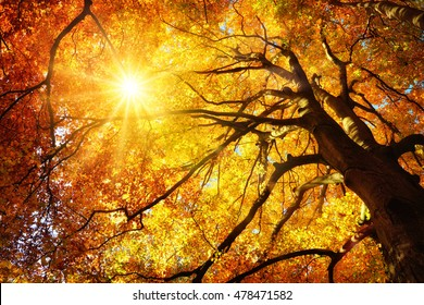 Autumn sun shining warmly through the leaves of a majestic gold beech tree, worm's eye view