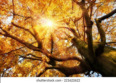 The autumn sun warmly shining through the beautiful branches of a large beech tree in vivid golden color