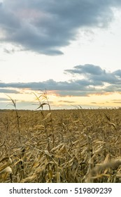 autumn sunset over the dry maize field
