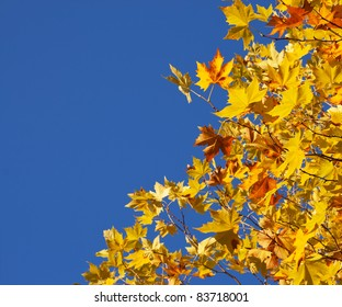 Autumn Sycamore Leaves  on blue sky background