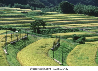 Autumn terraced rice-fields