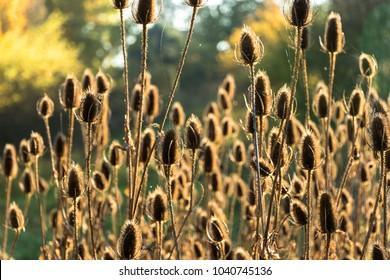 autumn thistle field