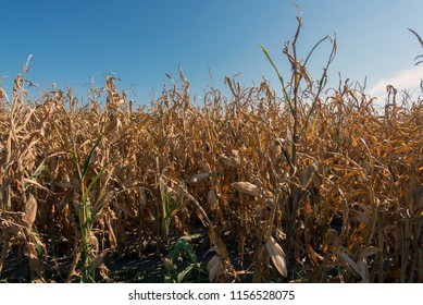 autumn is the time for harvest of hybrids of corn, mature cobs on the field