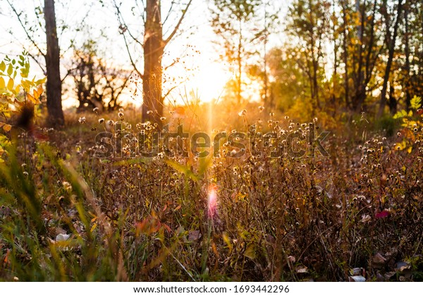 Autumn at times the sunset sun nostalgically shines through the withhable grass in the background we see several autumn trees