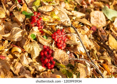 autumn tree ashberry bright colors of nature