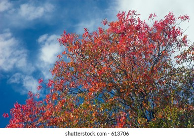 Autumn tree with a blue sky backdrop