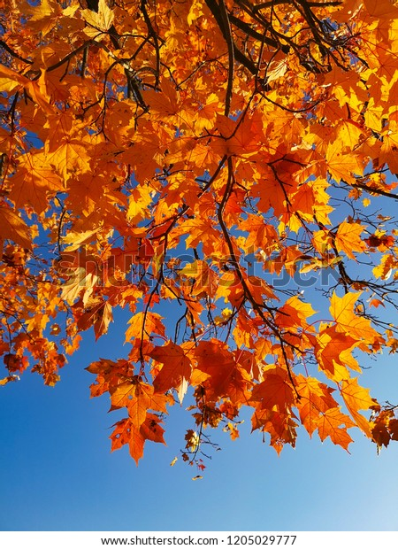 autumn tree foliage