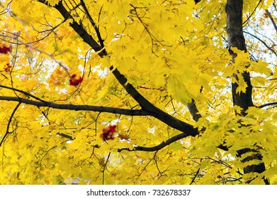 Autumn. The tree of maple. Yellow leaves. Close-up. Sunny day. Russia.