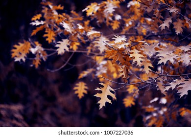 Autumn tree oak branches and leaves