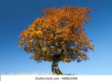 Autumn tree over blue sky background
