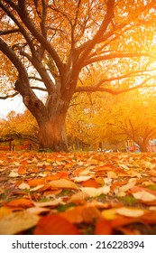 Autumn tree in park with colorful fall leaves