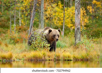 Autumn trees with bear. Beautiful brown bear walking around lake with fall colours. Dangerous animal in nature wood, meadow habitat. Wildlife habitat from Russia.