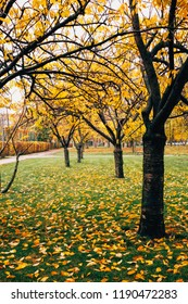 Autumn trees in the park with yellow leaves on green grass. Cherry trees.