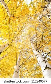 Les arbres d'automne aux feuilles jaunes contre le ciel