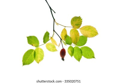 Autumn twig of dog rose with a red fruit isolated on white