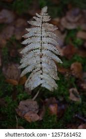 Autumn twig of dryopteris  -  know as wood fern, male fern or buckler fern