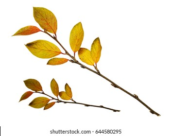 Autumn twigs with yellow leaves isolated on white