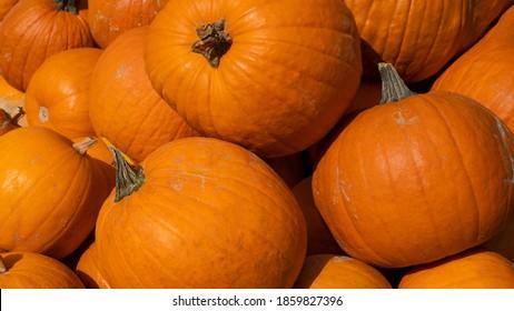 Autumn vegetables food thanksgiving background banner - Top view lots of colorful orange halloweenpumpkin squash ( cucurbita ), edible pumpkins
