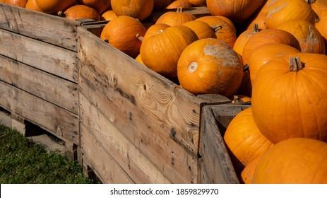 Autumn vegetables food thanksgiving background banner - Lots of colorful orange halloweenpumpkin squash ( cucurbita ), edible pumpkins, in wooden box
