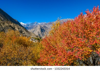 Autumn vibes in Himalayas. Trees are covered with orange and golden leaves. In the back high and harsh Himalayan slopes, covered with snow. Beauty of the nature.