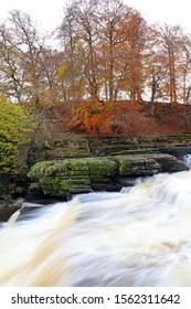 Autumn view of beech trees beside the lower falls Aysgarth, Yorkshire Dales