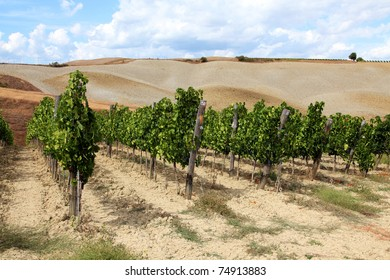 Autumn vine plants and brown fields in region of Siena, Tuscany, Italy.