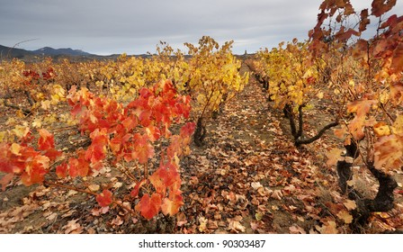 Autumn in the vineyard (La Rioja,Spain)