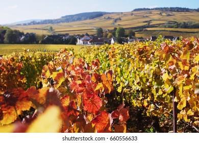 Autumn vineyard in perspective view, Burgundy, Paris