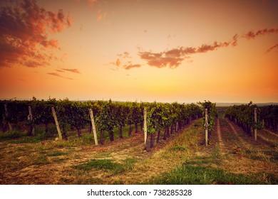 Autumn vineyard at sunset in Moravia, Czech Republic