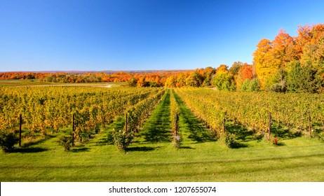 Autumn Vineyard Traverse City Michigan