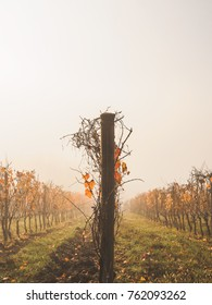 Autumn in the Vineyard, young vines with yellow and red leaves and fog on a background. Beautiful perspective. vertical