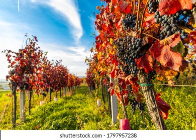 Autumn vineyards in Blatnice pod Svatym Antoninkem, Southern Moravia, Czech Republic