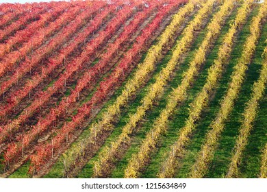 autumn vineyards falling leaves in the countryside