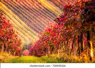 Autumn vineyards in Modena, Italy