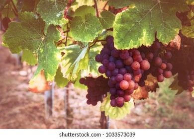 Autumn vineyards with organic grape on vine branches. Wine making concept
