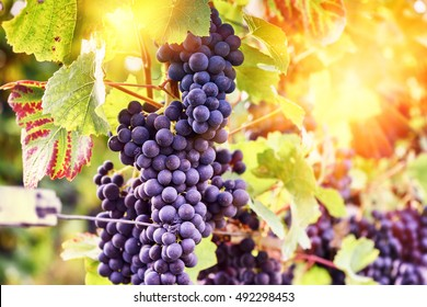 Autumn vineyards and organic grape on vine branches. Wine making concept