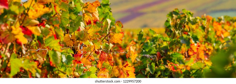 Autumn in Vineyards Palatinate region, German Wine Road, Rhineland-Palatinate, Germany, banner