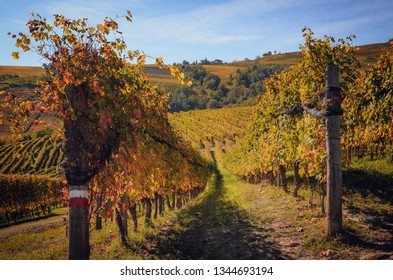 Autumn walk after harvest in the hiking paths between the rows and vineyards of nebbiolo grape, in the Barolo Langhe hills, most important wine district of Piedmont and Italy