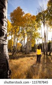 Autumn Walk Through Field of Golden Aspen Trees