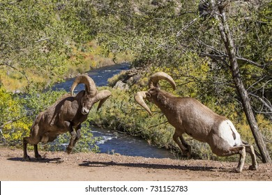 Autumn at Waterton Canyon in suburban Denver, Colorado - rocky mountain bighorn sheep banging heads during the rut.