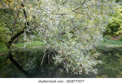 Autumn weeping willow bent over the lake
