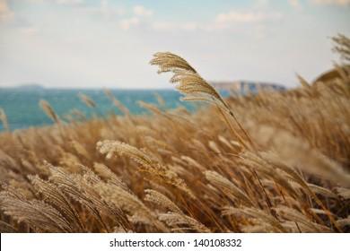 Autumn wheat land near the sea. Landscape nature photography, Russia